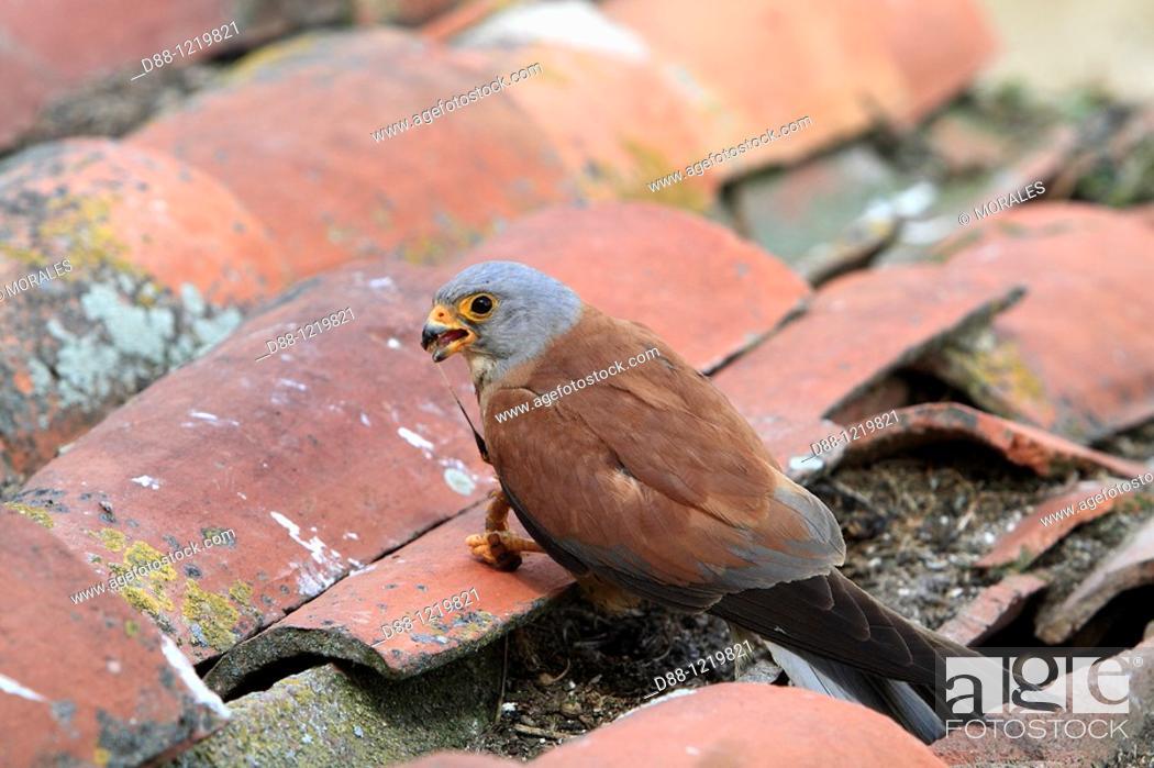 Stock Photo: Lesser Kestrel male Falco naumanni order : Falconiformes family : Falconidae.