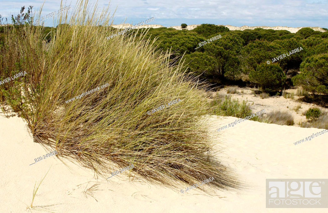 Stock Photo: 'Dunas móviles' (moving dunes) and 'corrales' (groups of pine trees encircled by dunes). Doñana National Park. Huelva province. Spain.