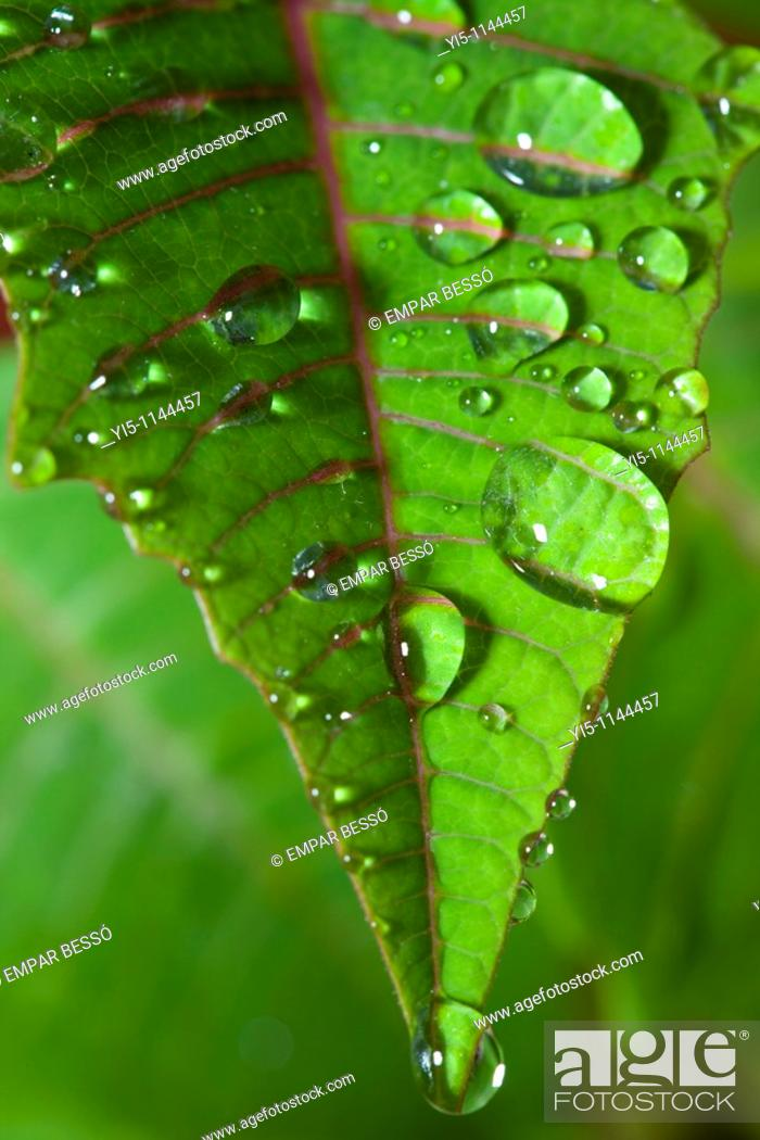 Stock Photo: Poinsettia leaf with water droplets.
