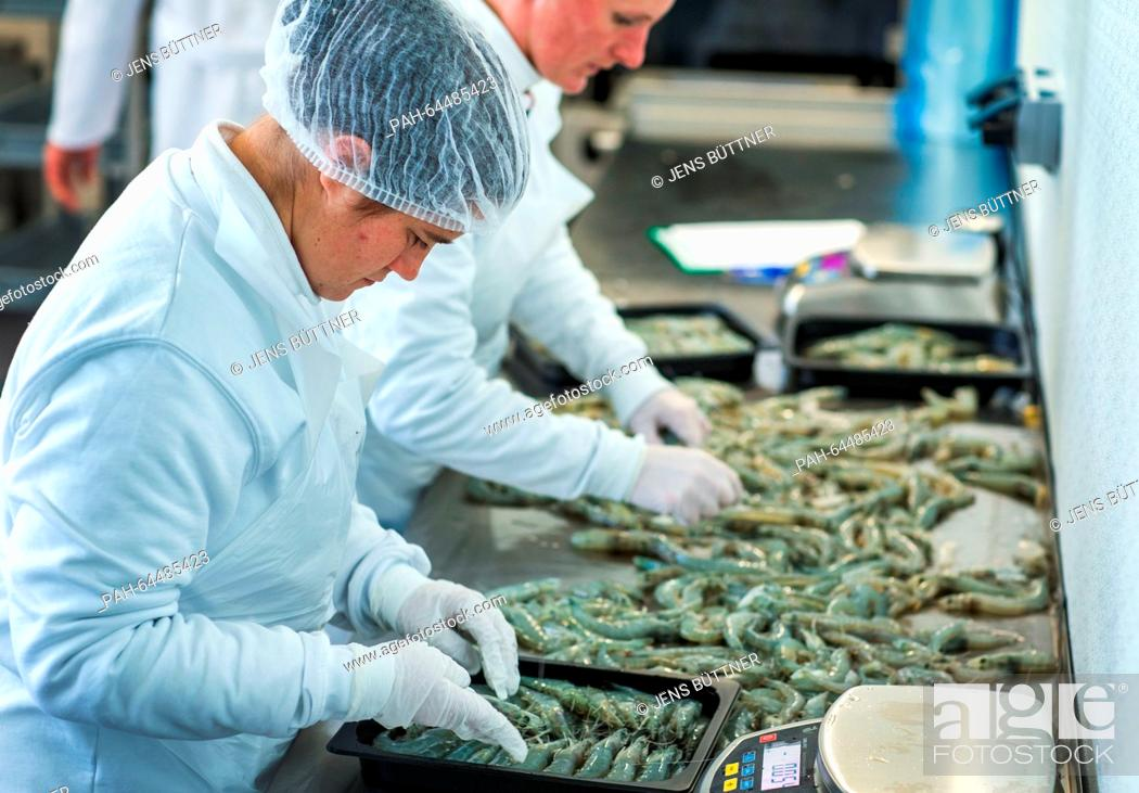 Stock Photo: Employees Diana Jenner (front) and Anika Bibow pack freshly caught Pacific shrimps at the 'Cristalle Garnelen' shrimp farm in Grevesmuehlen, Germany.