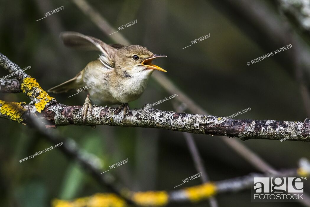 Stock Photo: An eurasian reed warbler is sitting on a branch.