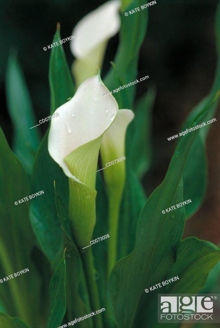 Stock Photo: Calla Lily (Zantedeschia sp.).