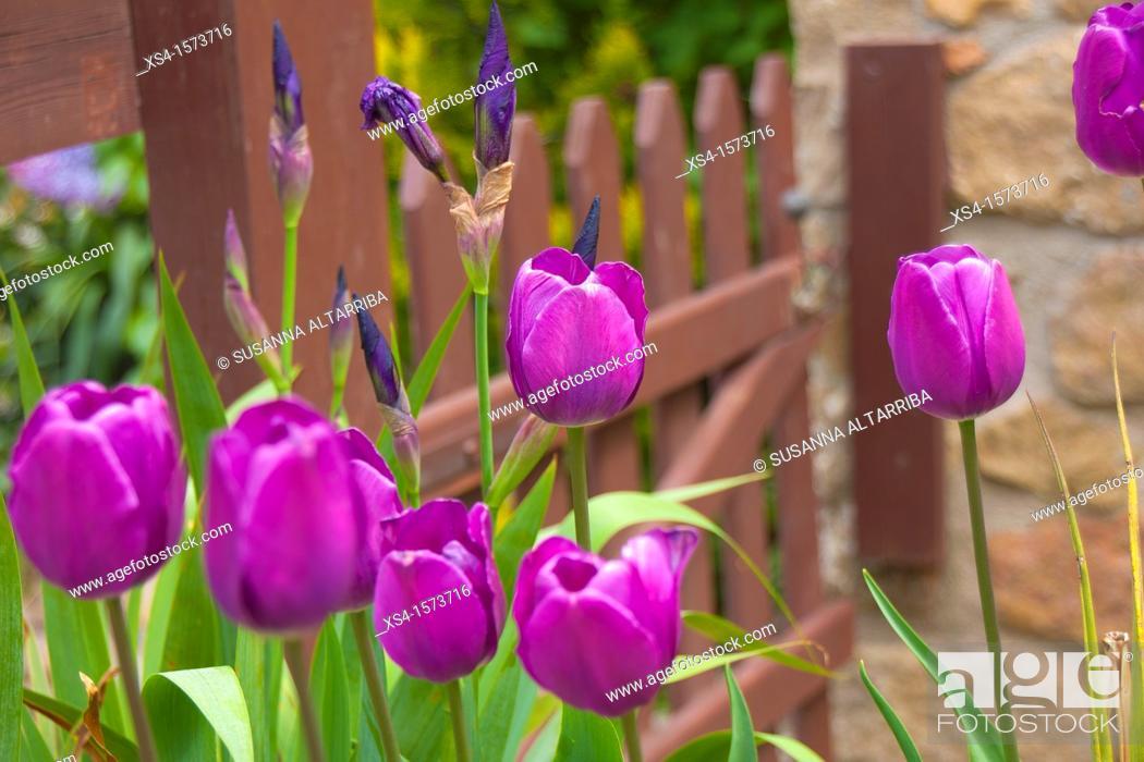 Stock Photo: Tulips Lilas. Photo take in Pinos, Lleida, Catalonia, Spain, Europe.