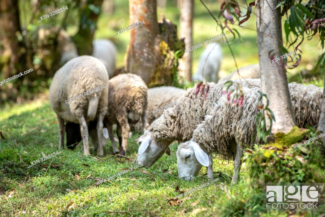 Stock Photo: Sheep grazing in Eucalyptus grove, Kinigi, Rwanda.