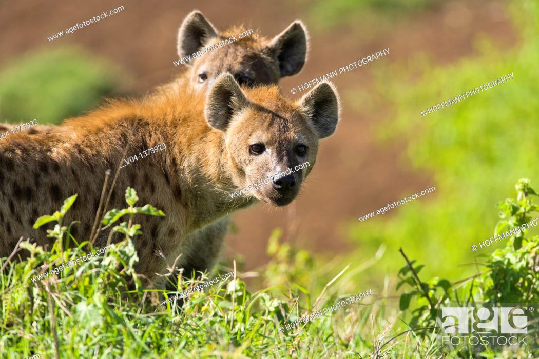 Stock Photo: Two spotted hyenas (Crocuta crocuta) looking for food in the Ngorongoro Crater, Tanzania, Africa.