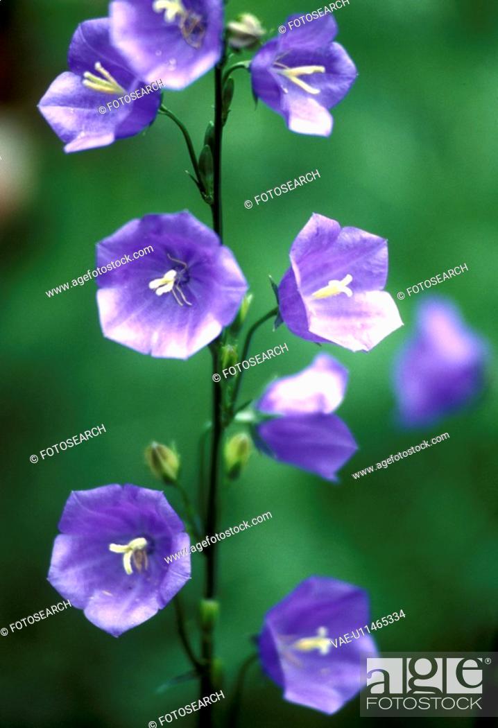 Stock Photo: bloom, Bell, Bernhard, bellflowers, bellflower, abloom.