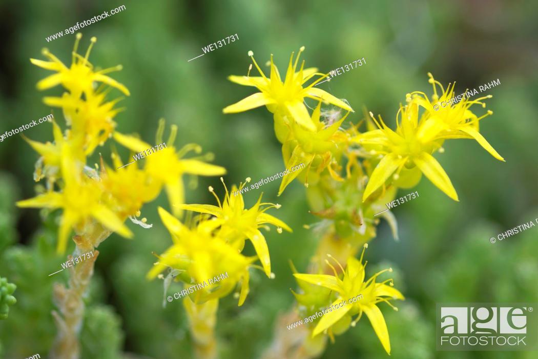 Stock Photo: Yellow Mossy Stonecrop macro, June in Varmland, Sweden.
