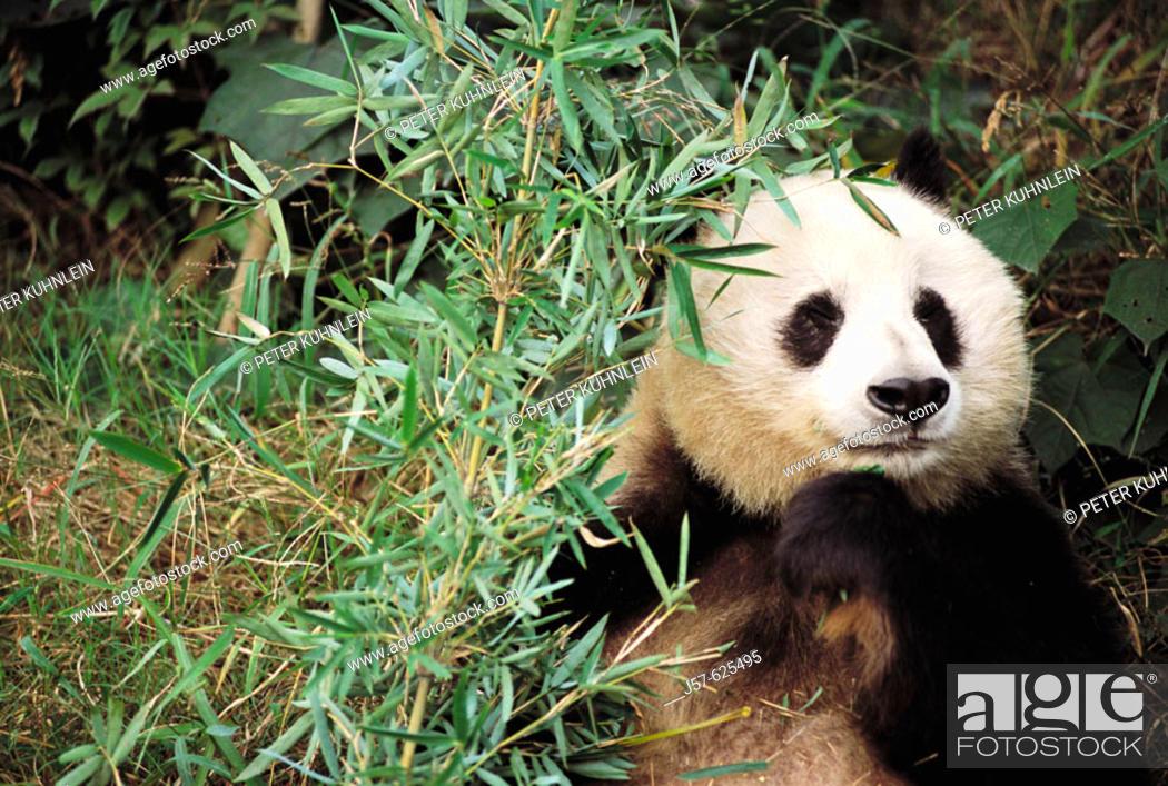 Stock Photo: Panda bear in captivity at the panda reserve in Sechuan, province of China.