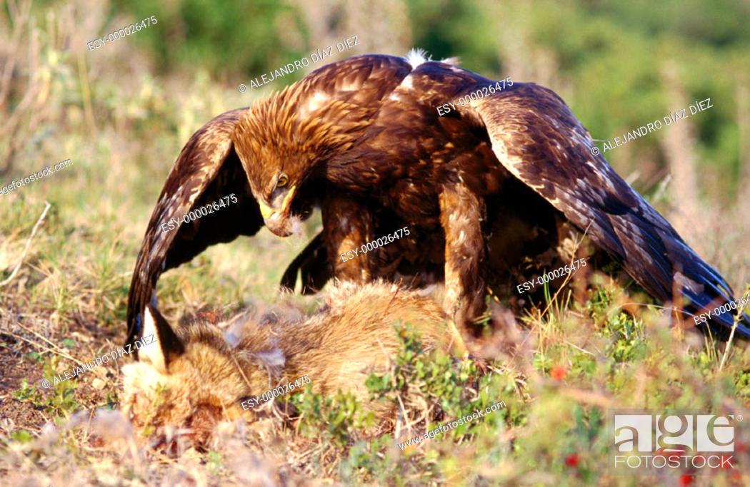 Stock Photo: Golden Eagle (Aquila chrysaetos) with fox.