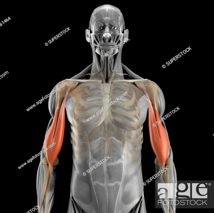 A Human Model Showing The Bicep Muscles Stock Photo Picture And