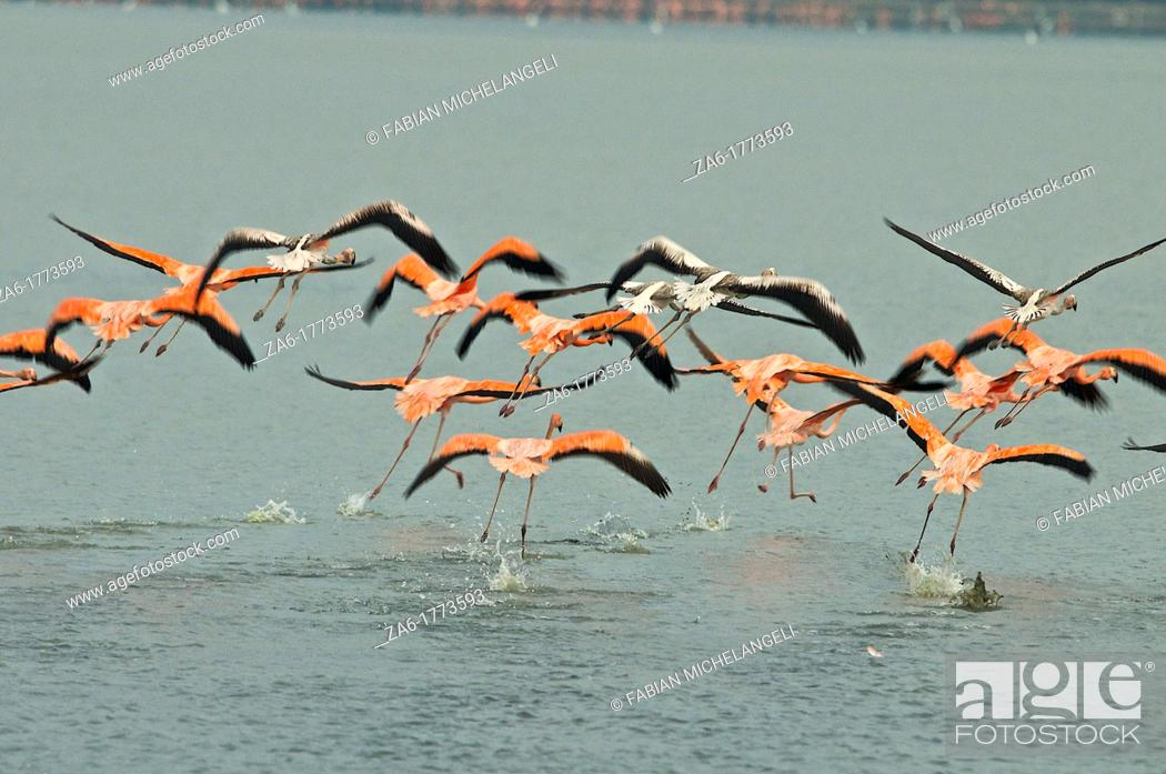 Imagen: Greater Flamingo Phoenicopterus ruber taking off flight over the Unare Lagoon on the coast of Venezuela.
