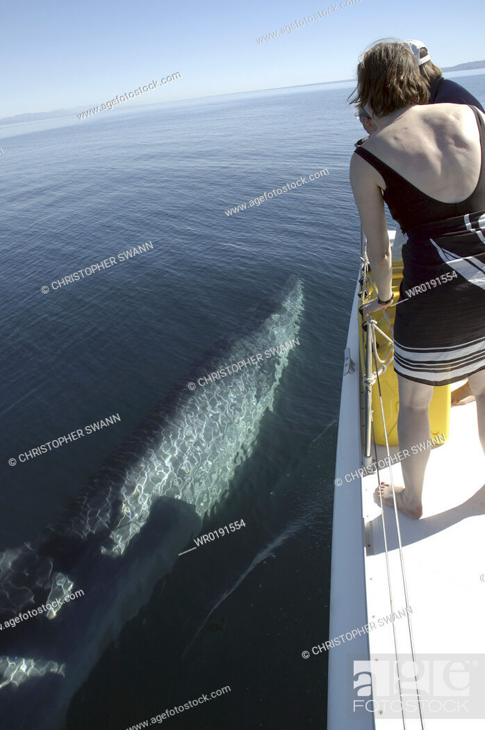 Imagen: A curious Bryde's whale Balaenoptera edeni swims alongside a boat Gulf of California A4 only.