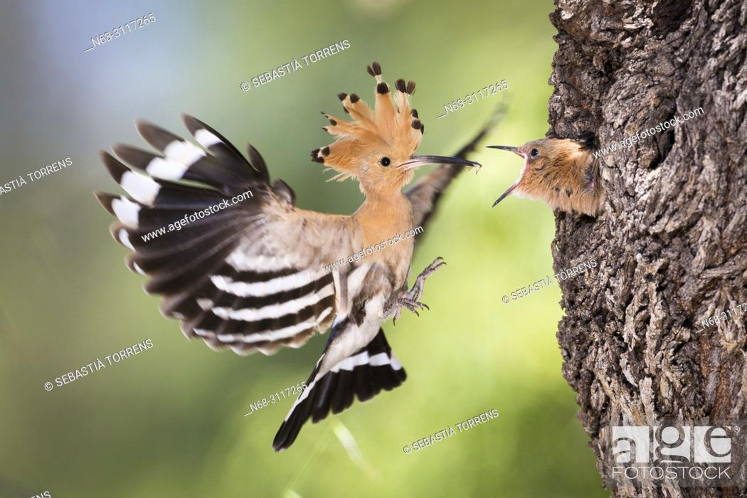 Stock Photo: Hoopoe, Upupa epops coming to the nest to feed the young, Montuiri, Majorca, Balearic Islands, Spain.