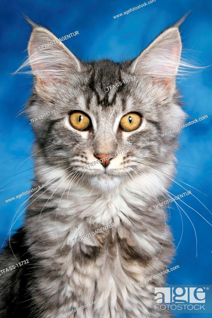 Stock Photo: young maine coon portrait.