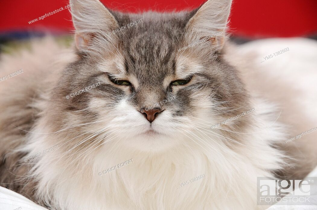 Stock Photo: Female cat with eyes squinting.