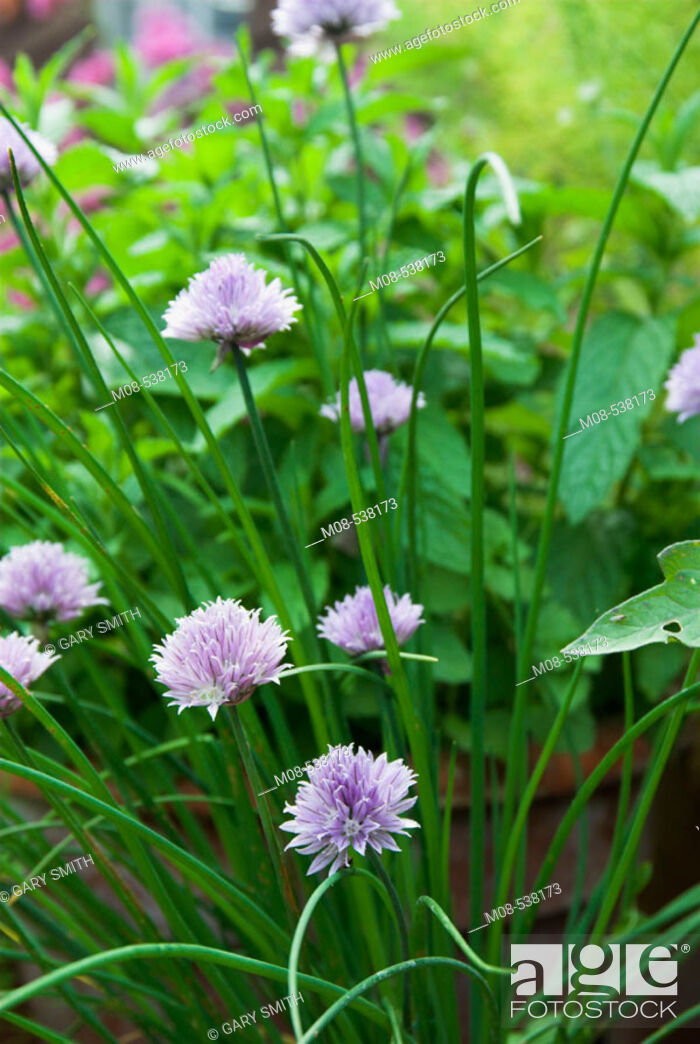 Stock Photo: Study of chives in flower with other herbs in background,.