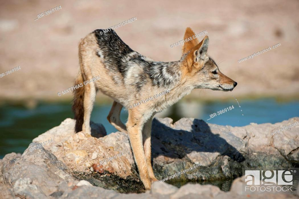 Stock Photo: Black-backed Jackal (Canis mesomelas) at a waterhole, Kgalagadi Transfrontier Park, Northern Cape, South Africa.