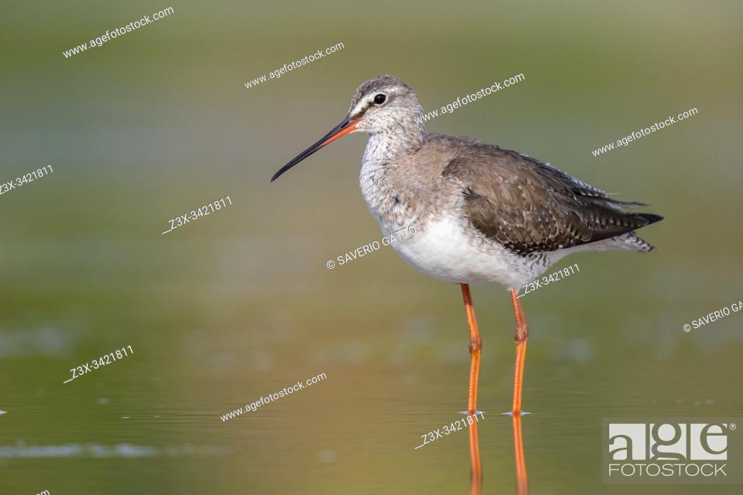 Stock Photo: Spotted Redshank (Tringa erythropus), adult in winter plumage standing in the water, Campania, Italy.