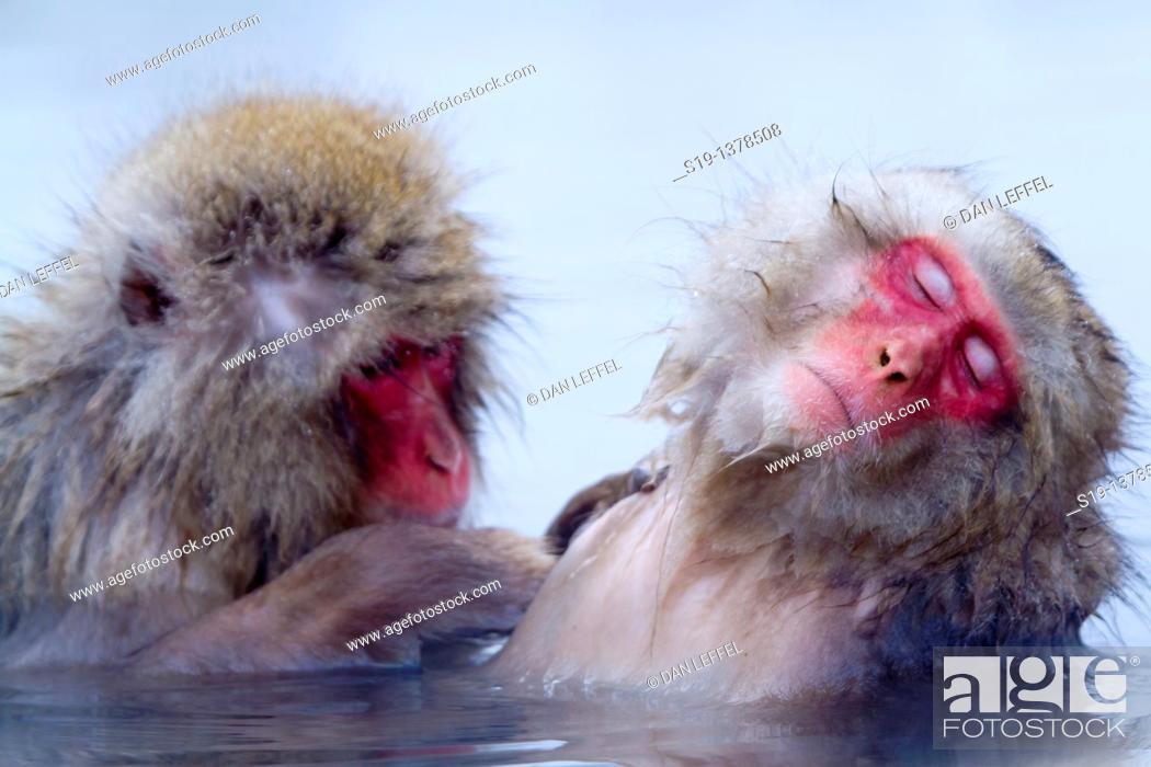 Stock Photo: Japanese macaques (Macaca fuscata). Jigokudani Monkey Park, Nagano Prefecture, Japan.