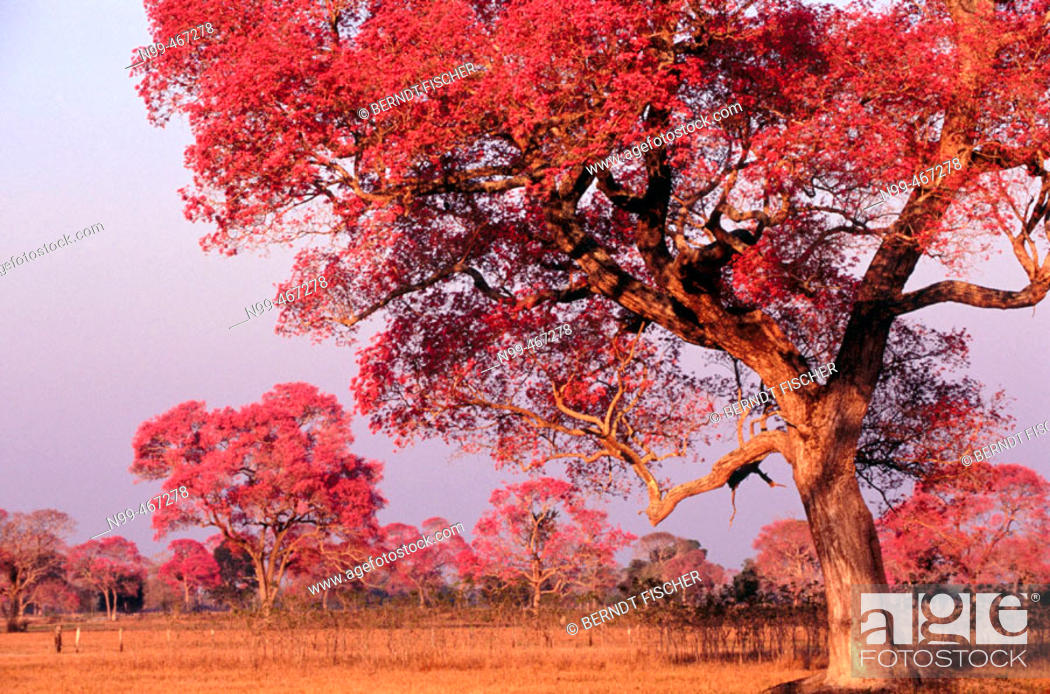 Stock Photo: Rose trumpet trees in flower. Dry pasture with trees. Type of landscape like Savannah or park. Pantanal near Pocone. Mato Grosso. Brazil.