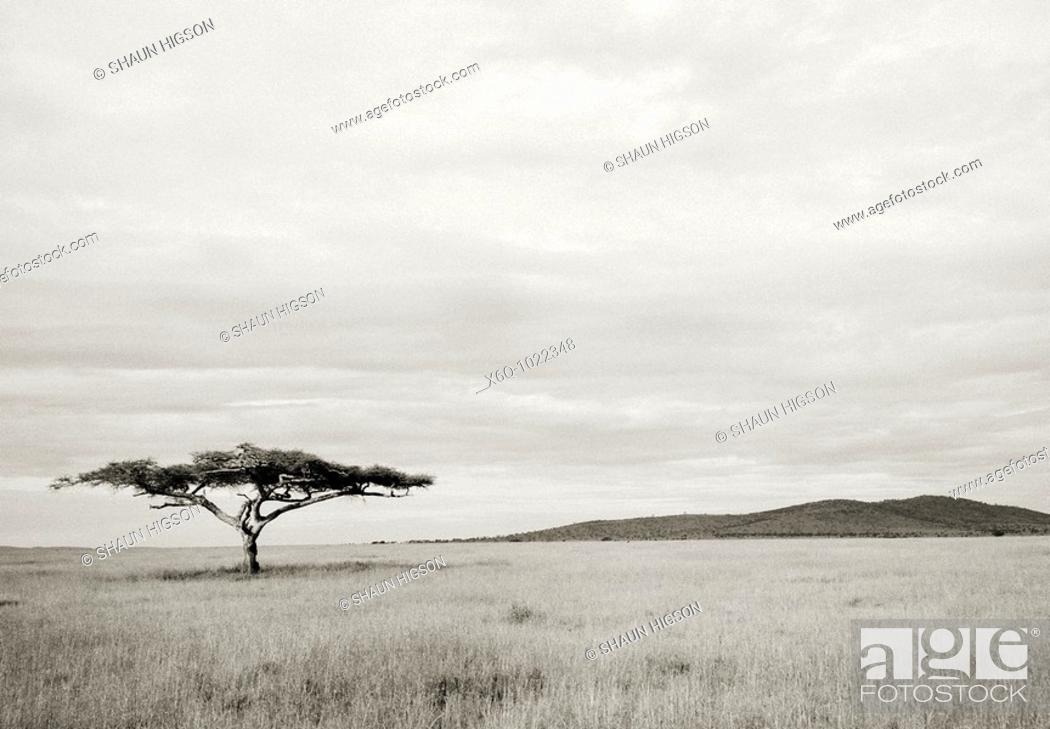 Stock Photo: A lone Acacia Tree in the Serengeti in Tanzania in Sub Saharan Africa.
