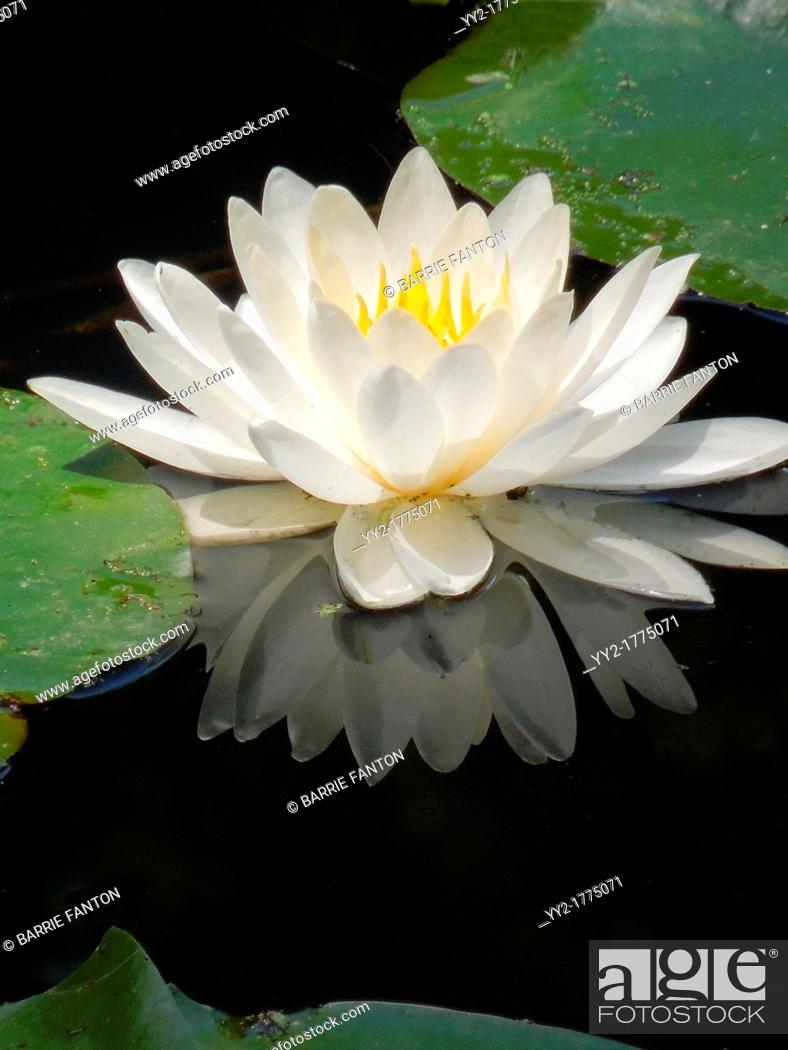 Imagen: White water lily and reflection in pond.