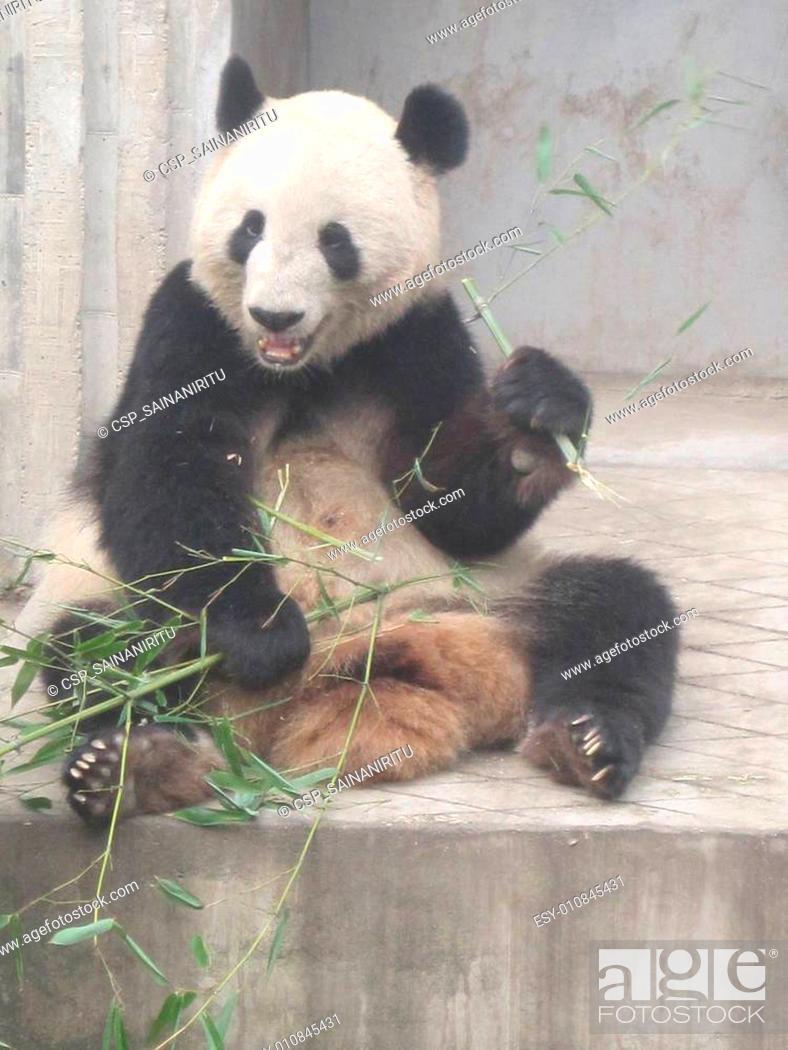 Stock Photo: Giant Panda Research Base in China.