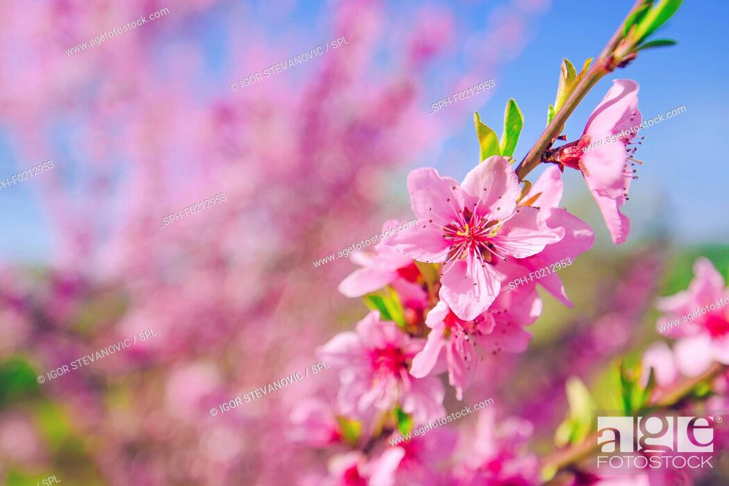 Stock Photo: Peach tree branch blossoming in spring.