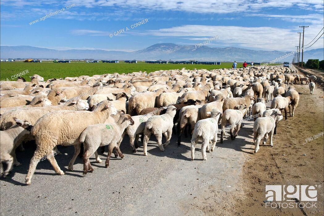 Imagen: Shephards w dog driving flock of sheep-Kern Co. CA H.