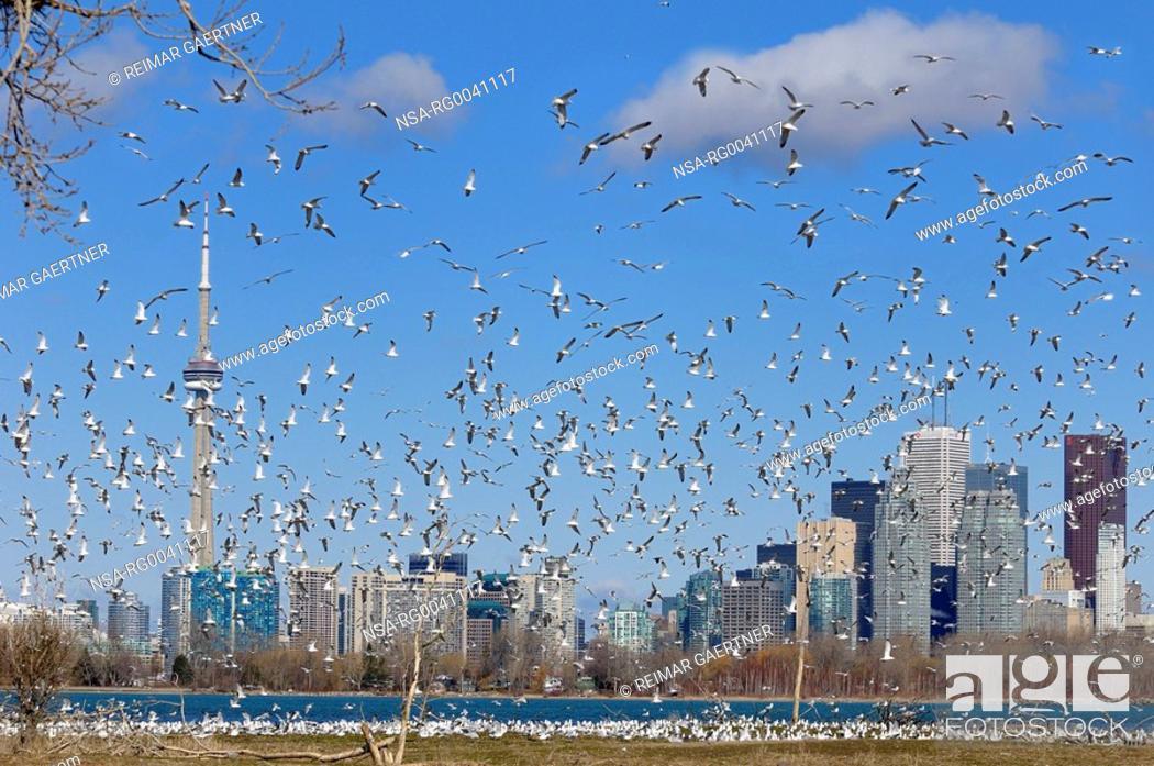 Stock Photo: Flock of mating Ring Billed Gulls at Leslie Street Spit nesting.