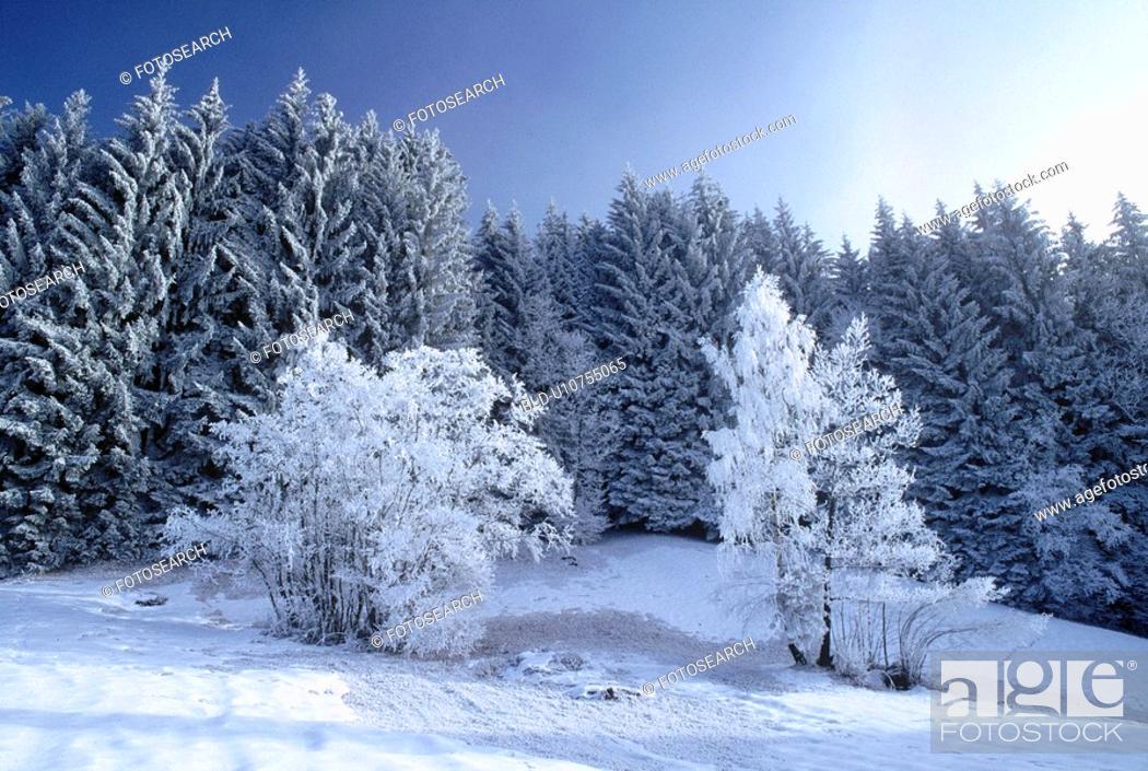 Stock Photo: Trees in snow.