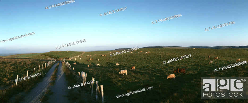 Stock Photo: France, livestock in fields of grass, panoramic view.