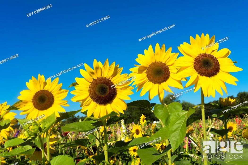 Stock Photo: Sunflower field against blue sky-Baden-Baden, Germany.