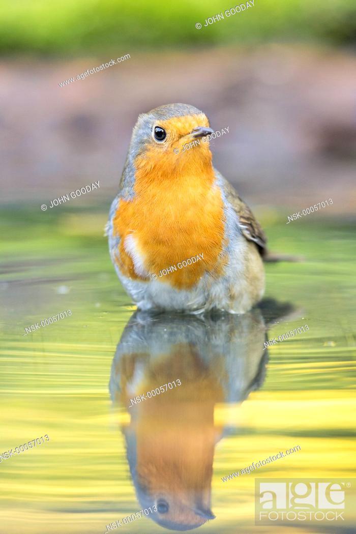 Stock Photo: European Robin (Erithacus rubecula) bathing in a pool, England, Essex.