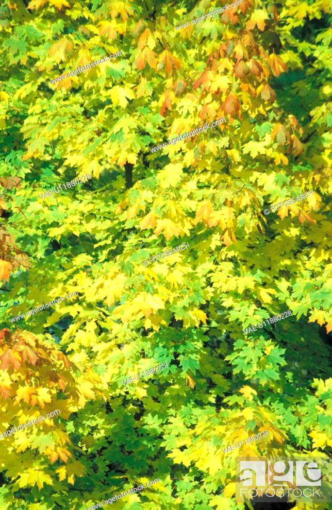 Stock Photo: green, ahornbaum, day, christoph, background, acer.