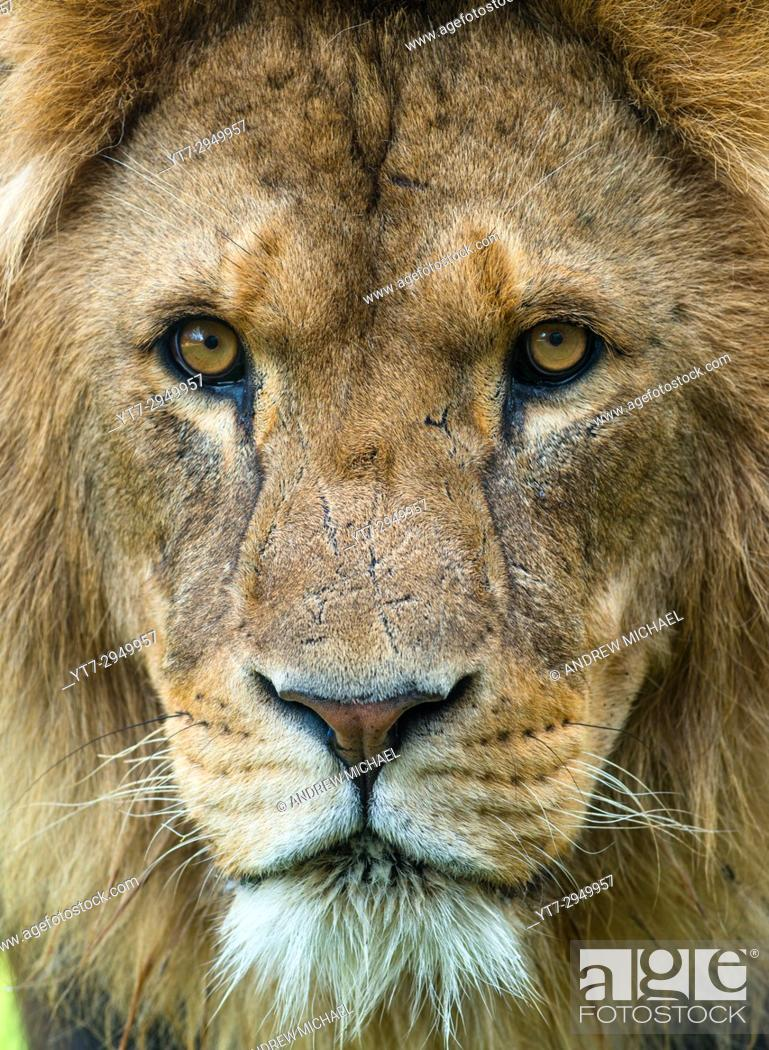 Stock Photo: Male African Lion up close.