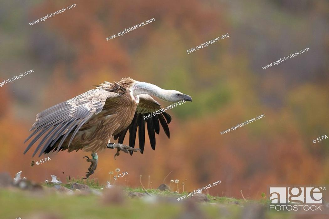 Stock Photo: Eurasian Griffon Vulture Gyps fulvus adult, running across hillside, Rhodope Mountains, Bulgaria, november.