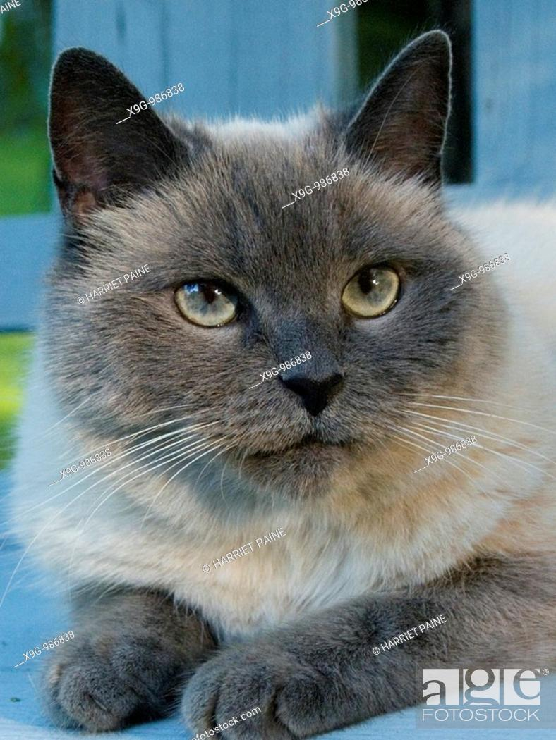 Stock Photo: Himalayan mix breed cat.