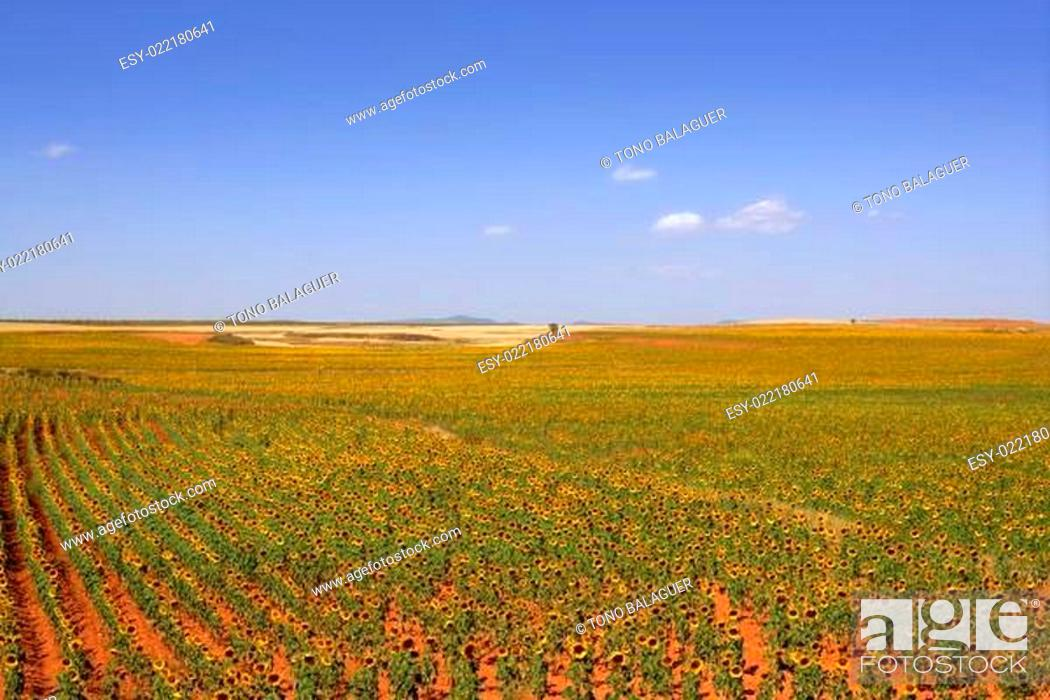 Stock Photo: Sunflower plantation vibrant yellow flowers.