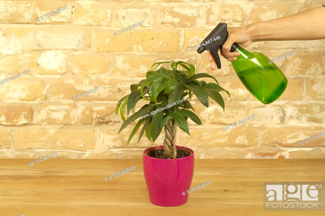 Stock Photo: Indoor plant is being sprinkled.