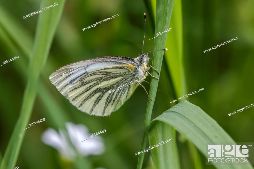 Stock Photo: Germany, Saarland, Bexbach - A green-veined white is sitting on a grass-stock.