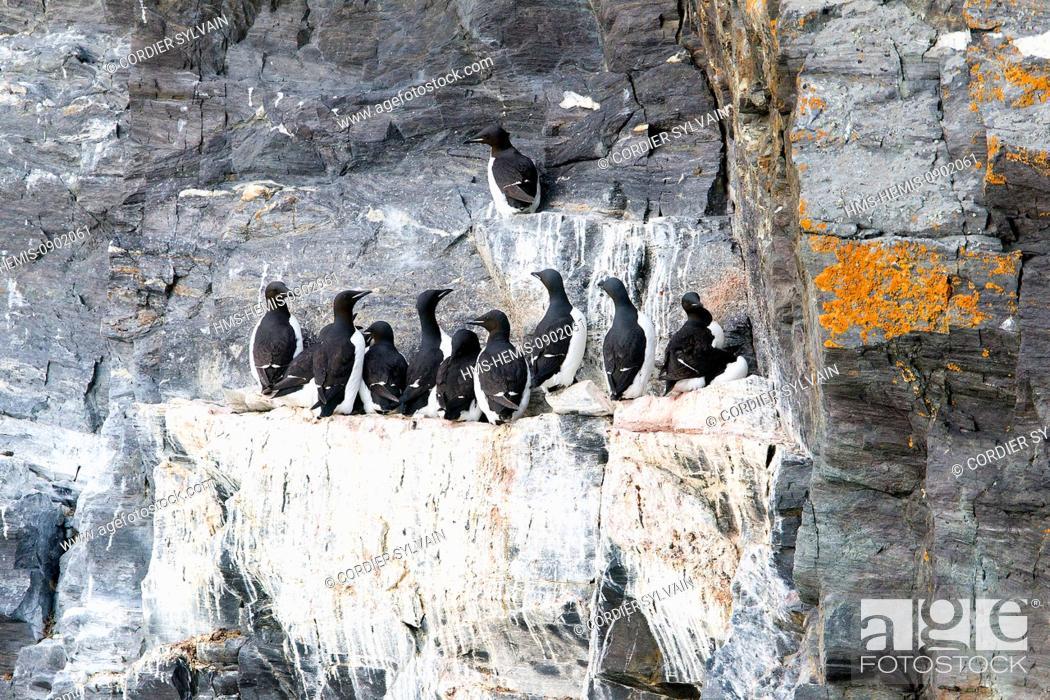 Stock Photo: Norway, Svalbard, Spitsbergern, Rocks, Bird colony, Thick billed Murre or Brunnich's Guillemot (Uria lomvia).
