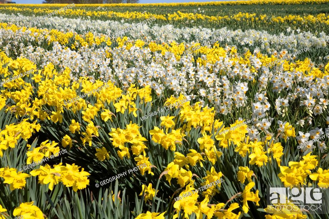 Stock Photo: Field of cultivated daffodils, near Happisburgh, Norfolk, Engaldn.