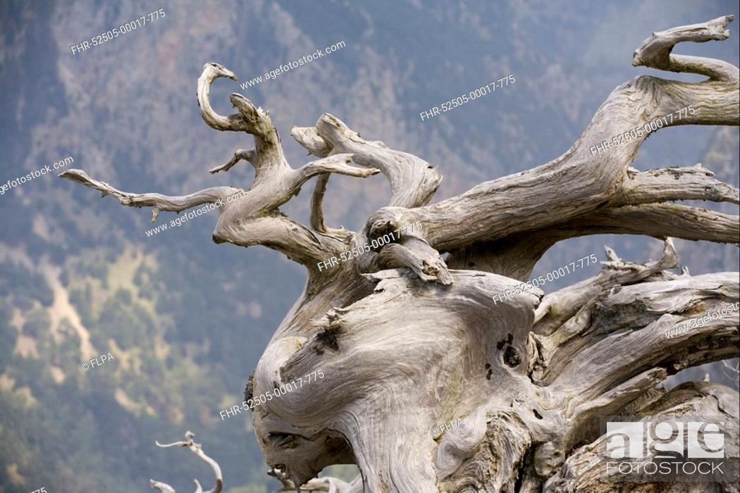 Stock Photo: Italian Cypress Cupressus sempervirens ancient gnarled trunk, White Mountains, Crete, Greece.