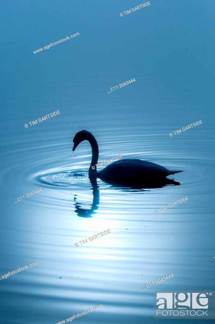 Stock Photo: single swan, lake district, cumbria, england, uk, europe.