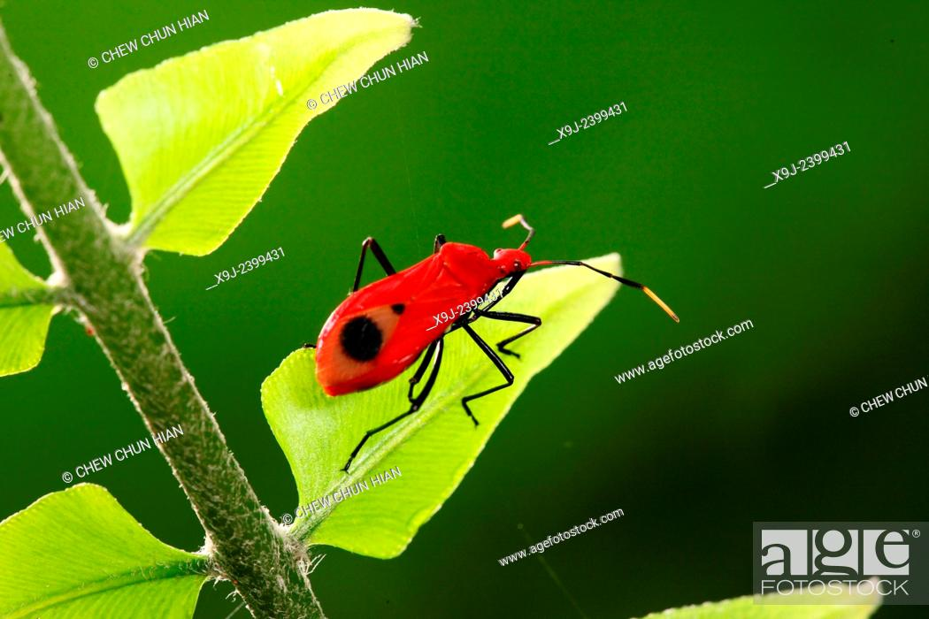 Stock Photo: Boxelder Bug, true bug, borneo.