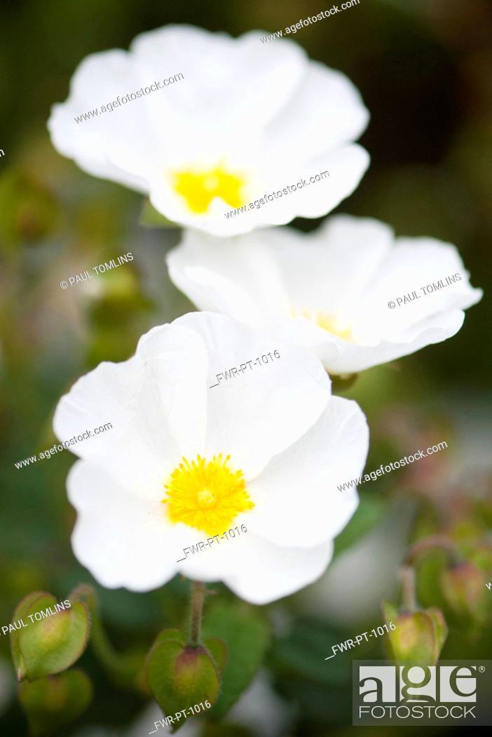 Imagen: Rock rose, Cistus corbariensis, three white coloured flowers.
