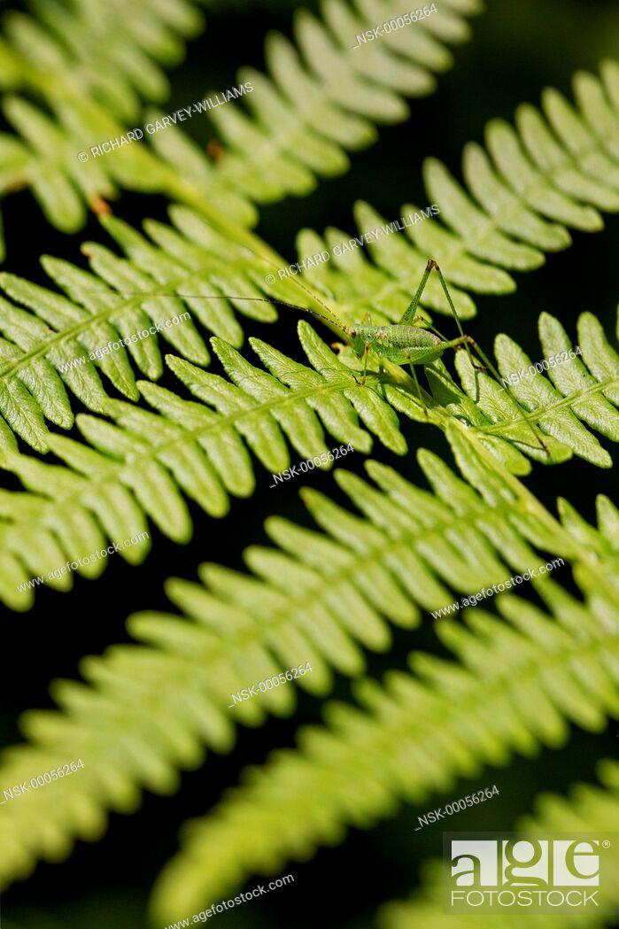 Imagen: Oak Bush-cricket nymph (Meconema thalassinium) walking across a fern leaf in woodland, Greece, Pelion.