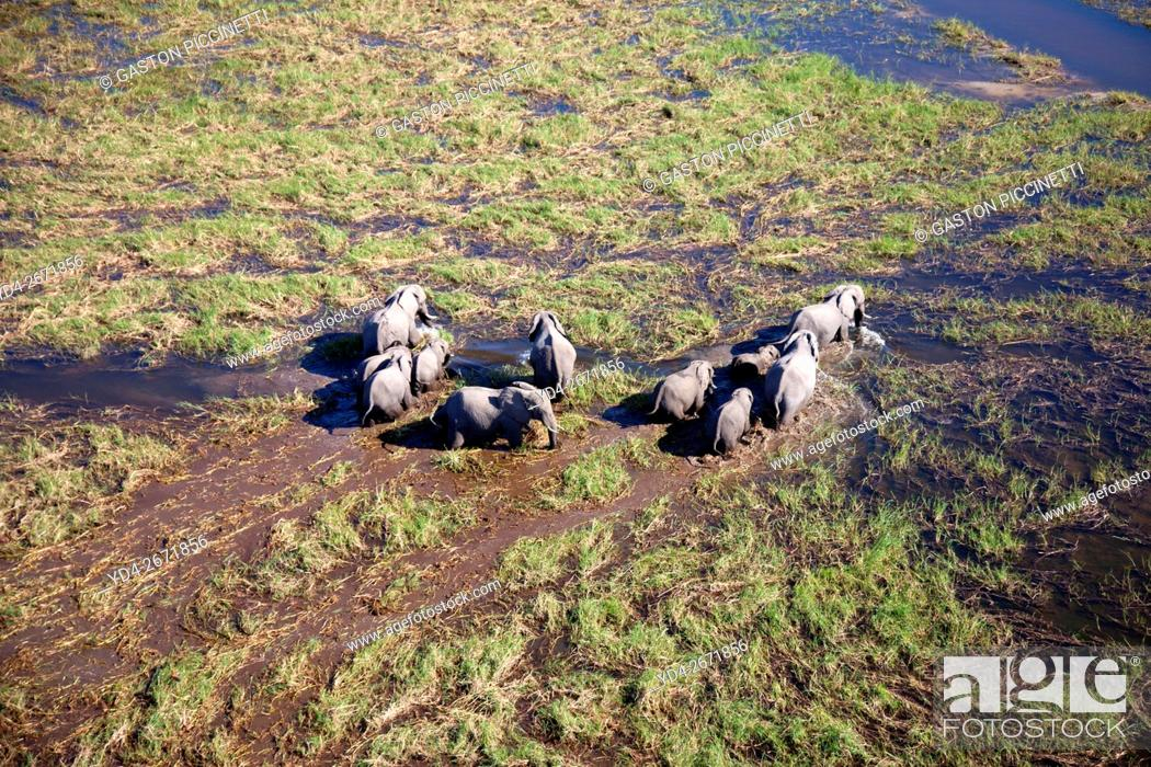 Stock Photo: African Elephants (Loxodonta africana), roaming in a freshwater marsh, aerial view, Okavango Delta, Botswana. . The Okavango Delta is home to a rich array of.