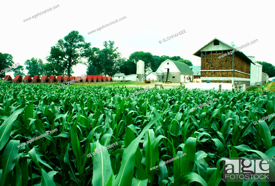 Stock Photo: Corn fields and farm buildings of Niel Henry, Clinton city, OH.